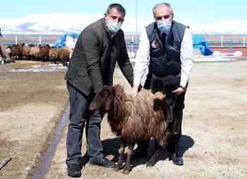 Erzurum çiftçisine anaç koyun keçi desteği
