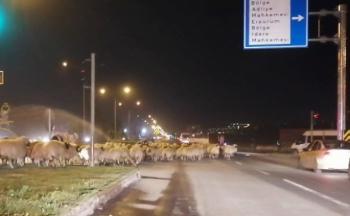 Karayoluna çıkan koyun sürüsü Erzurum'da trafiği durdurdu!
