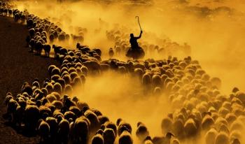 Koyun sürülerinin muhteşem  zorlu ve tozlu yolculuğu