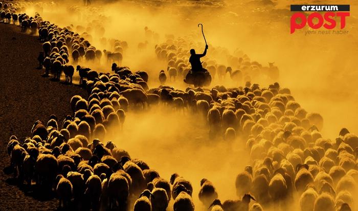 Koyun sürülerinin muhteşem yolculuğu